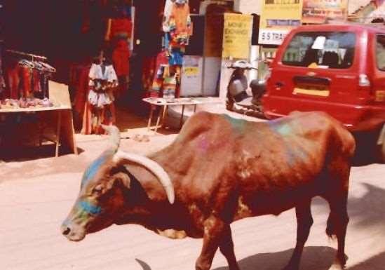 Корова на Гоа