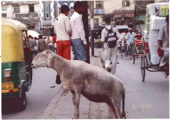 Овца -пешеход