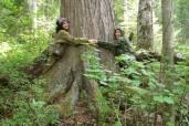 Старовозрастный (около 400 лет) кедр в низкогорных черневых лесах