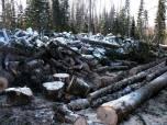 современном состоянии охраны и использования лесов в Алтайском крае