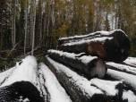 Республика Алтай: уход за кедровыми лесами или их уничтожение?