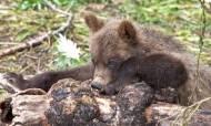 Большую медвежью рыбалку на Камчатке возьмут под охрану