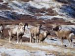 Добыча кобальта в Республике Алтай угрожает аргали