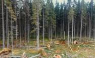 Санитарные рубки в Ленинградской области. Фото: Наталья Максимова.
