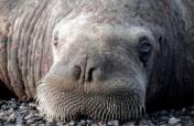 Больные моржы возле Пойнт Лэй, Аляска. Фото с сайта AlaskaDispatch