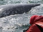 Самка серого кита близко подплыла к учёным. Владимир Вертянкин_hf