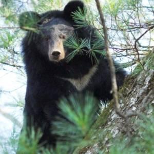 Гималайский медведь - обитатель кедрово-широколиственных лесов. Фото С.А. Колчин