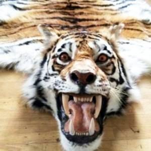 Изъятая шкура тигра