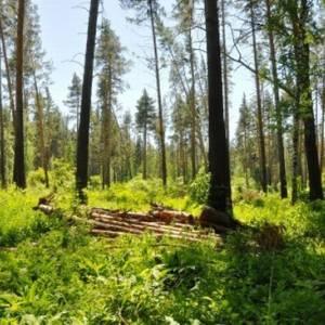Общественники предложили ввести мораторий на рубку леса в заказниках Алтайского