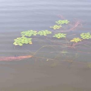 Быть или не быть водяному ореху в Манжерокском озере