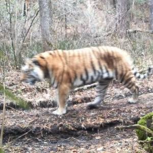 Амурский тигр. Фото Анюйского парка Хабаровского края