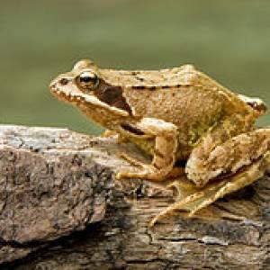 Экологическая библиотека Травяная лягушка, которая превратилась в царевну