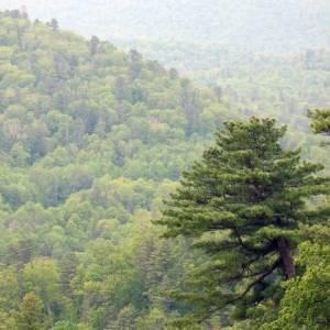 Кедровые леса. Фото: Евгений Лепешкин, WWF России