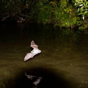 """Прудовая ночница во время охоты над рекой Кия в заповеднике """"Кузнецкий Алатау"""" Ф"""