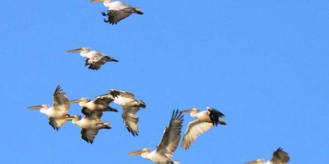 Где гнездятся пеликаны