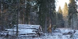 Кировские активисты ОНФ обратились в природоохранную прокуратуру с просьбой проверить законность вырубки деревьев в Порошино
