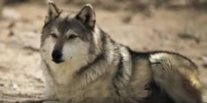 Как благодаря волкам удалось восстановить экосистему Йеллоустона