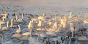 Лебеди-шипуны на озере Светлом