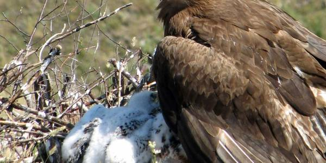 Сохраним степного орла на просторах родного края!