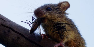 Алтайская мышовка. Фото: С. Бондаревской