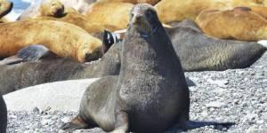 На острове Тюленем активисты освободили от удавок 4 морских котика