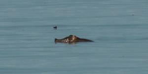 Дальневосточная черепаха: жить ли ей и дальше на Ханке?