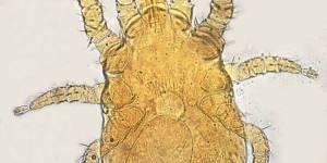 Macronyssus tigirecus