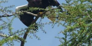 Джугджурский заповедник, посадкобесие и  попугай какапо