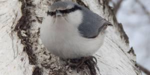 Зимующие птицы села Сараса и его окрестностей