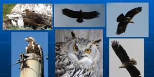 Изучение и охрана редких и исчезающих пернатых хищников Алтайского края