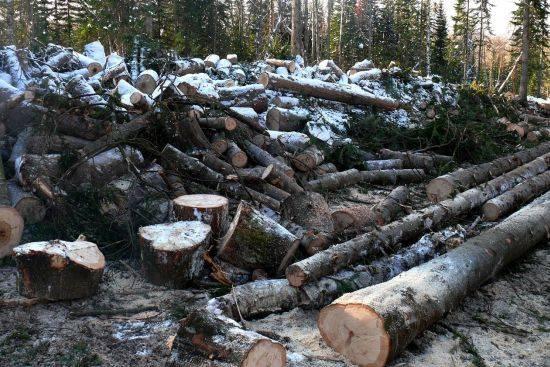 Алтайским лесным чиновникам суд – не указ!