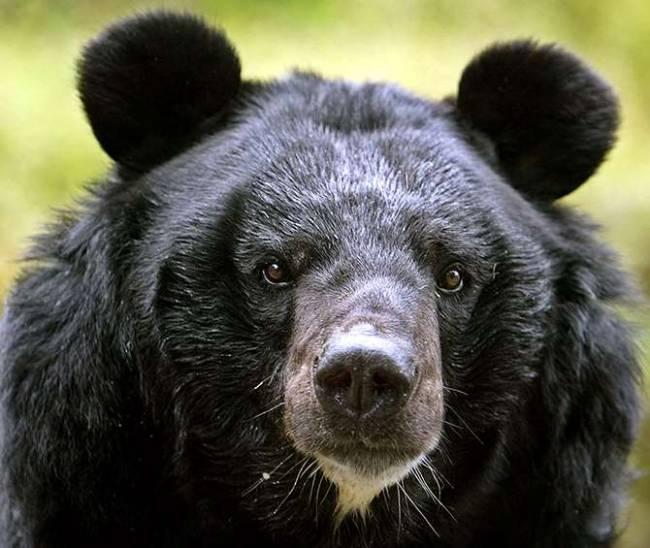 Власти Хабаровска разрешили отстрел гималайских медведей
