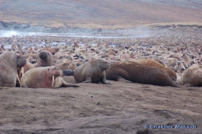 Современное состояние тихоокеанского моржа и перспективы его добычи в Чукотском
