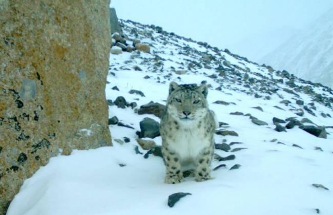 Получены новые данные об ирбисах и других диких обитателях Алтая