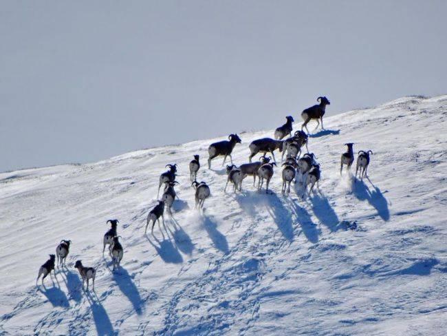 Как зимуют аргали?
