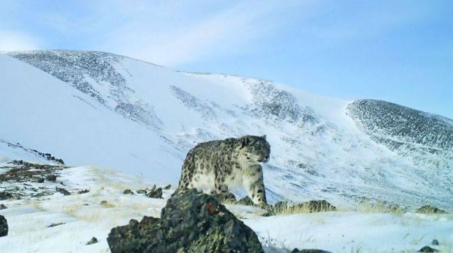 На Алтае и в Тыве стало больше снежных барсов