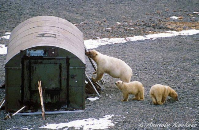 Анатолий Кочнев о том как сократить число конфликтов с белыми медведями