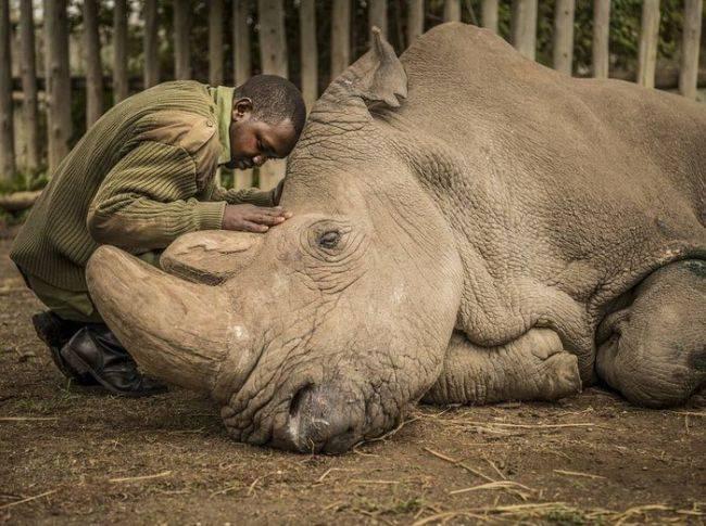 Скончался последний в мире самец северного белого носорога
