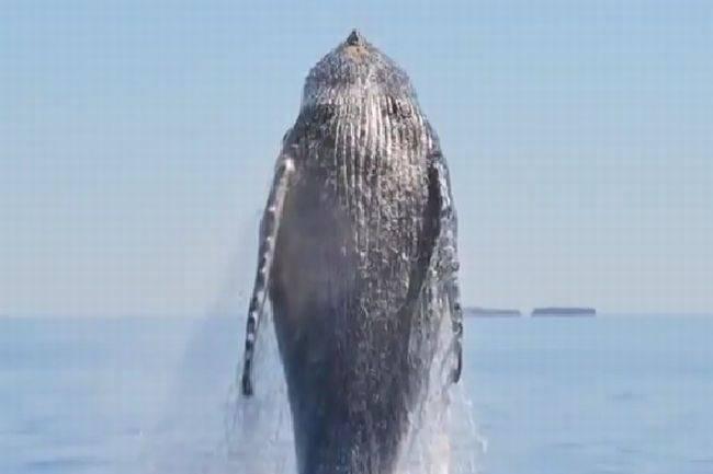 Как спасали и спасли молодого горбатого кита