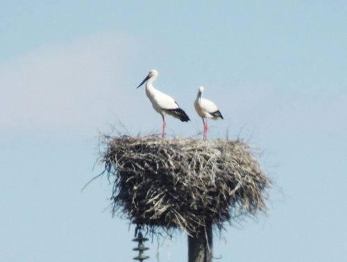 Два аиста на гнезде - родители. Фото Юрия Гафарова, Амур СоЭС