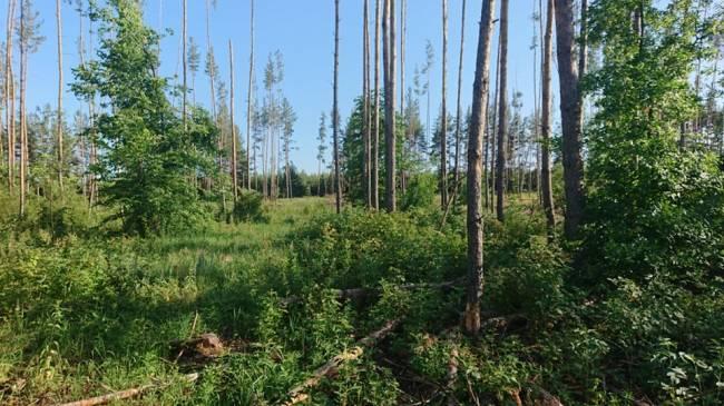 Леса с земляникой вырубают.