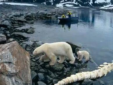 По Арктике вместе с белыми медведями