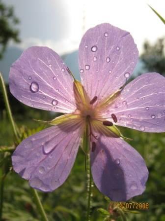 цветы, герань