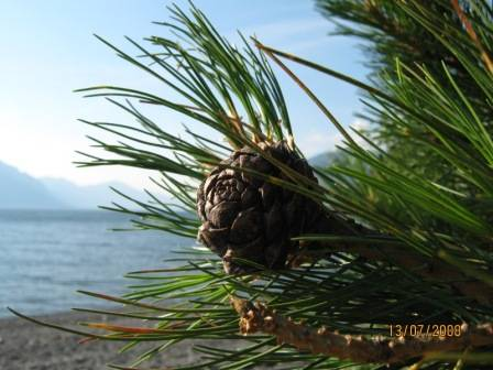 кедр, Телецкое озеро