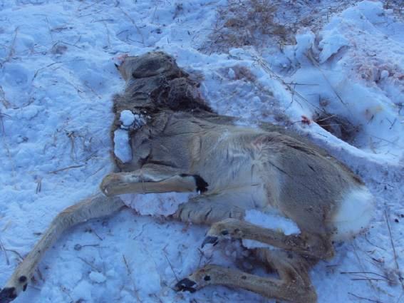 незаконной охоты на косуль с применением снегоходов