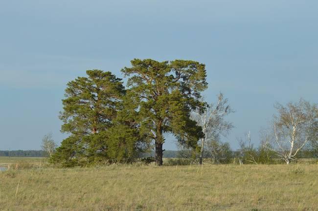 Единственное гнездо орла-могильника из 4-х известных в районе Малиновых озёр, вк