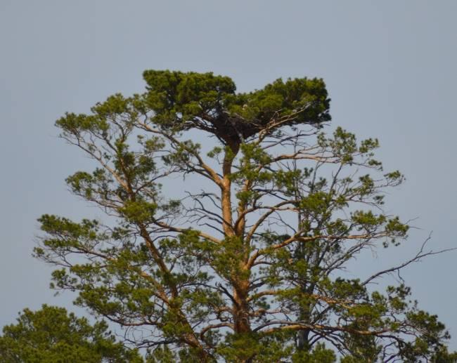 Гнездо орла-могильника, вырезанное из заказника. Фото И. Карякина