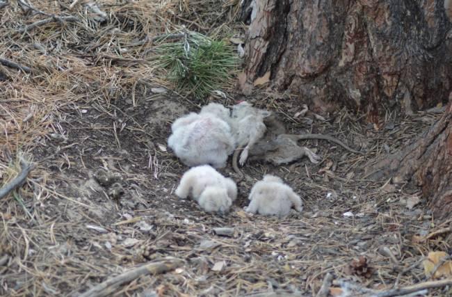 Гнездо филина на Малиновых озёрах вырезанное из заказника. Фото И. Карякина