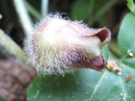 цветки копытня европейского, Asarum euroraeum L.