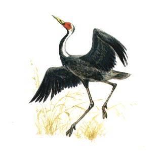 Приморские экологи выхаживают редкую птицу даурский журавль